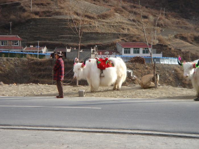 毛の長い牛