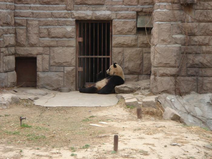 北京動物園の大熊猫(パンダ)