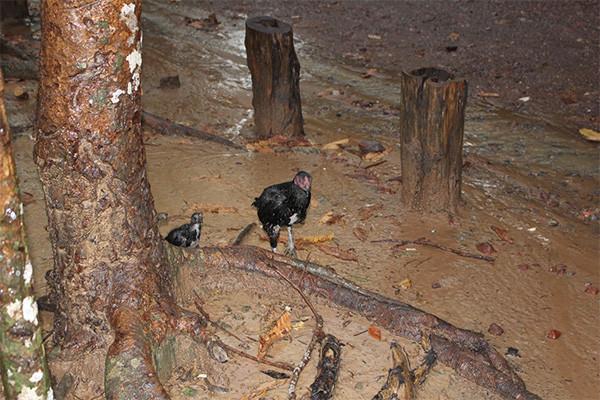 アンコールワット遺跡で雨宿り中に鶏もきた